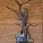 Elk Shed Mounted on California Buckeye Coat-Hat Rack